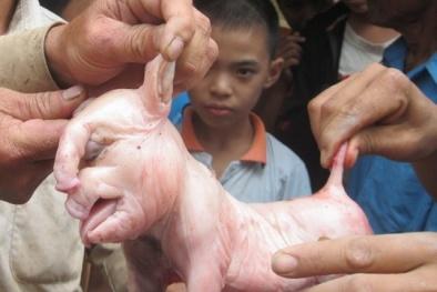 Trường hợp lợn đẻ ra voi cực hiếm ở Việt Nam