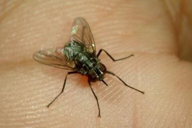 Những căn bệnh nguy hiểm thường gặp do ruồi gây ra