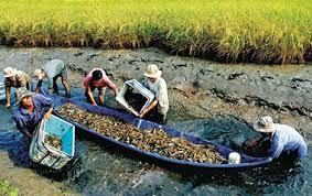 Cà Mau: Triển vọng mô hình nuôi tôm càng xanh