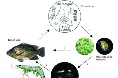 Gây nuôi thức ăn tự nhiên theo công nghệ Copefloc cho năng suất cao