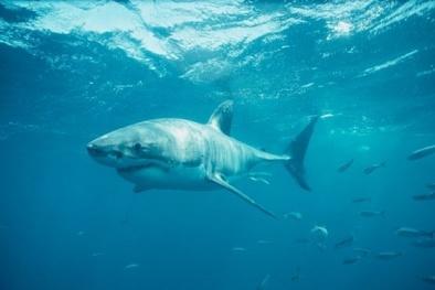 Con gái bất lực nhìn cha bị cá mập trắng cắn chết