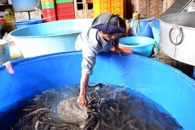 Đạt năng suất cao nhờ kỹ thuật cho lươn sinh sản bán nhân tạo