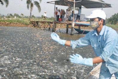 Quy chuẩn kỹ thuật về cơ sở nuôi cá tra trong ao đảm bảo năng suất chất lượng tốt