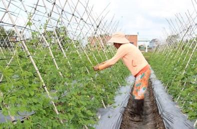 TP Hồ Chí Minh: Mô hình cánh đồng rau VietGAP cho năng suất chất lượng cao