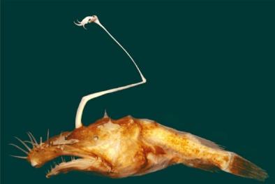 Phát hiện loài cá cực hiếm xấu xí nhất đại dương có 'cần' tự phát sáng