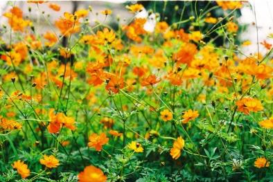 Học cách trồng hoa cánh bướm rực rỡ khoe sắc khắp vườn thu