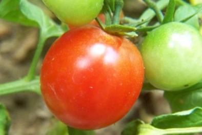 Ngã ngửa quả cà chua Trung Quốc để 3 tháng vẫn tươi ngon