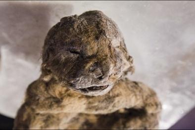 Xác đôi sư tử 12.000 năm nguyên vẹn như vừa chết