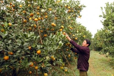 Xây dựng giá trị phát triển bền vững cho cam Cao Phong