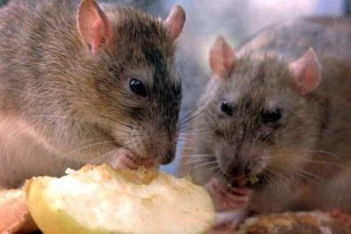 Nước Anh bàng hoàng trước nghi án cụ bà 75 tuổi bị chuột cắn chết