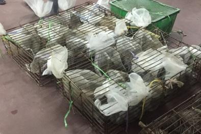 Hơn 200 kg cầy hương và don hoang dã 'đổ bộ' Hà Nội trong đêm