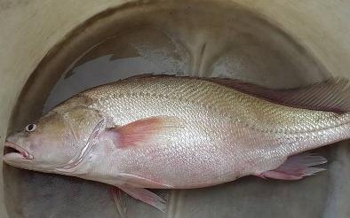 Lại bắt được cá lạ nghi cá sủ vàng giá bạc tỷ trên sông Hậu
