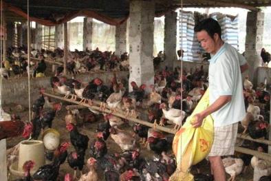 Mô hình nuôi gà lai đông tảo cho năng suất cao tại Hà Nội