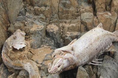 Hành trình từ lúc phát hiện đến khi tìm được nguyên nhân vụ cá chết ở miền Trung
