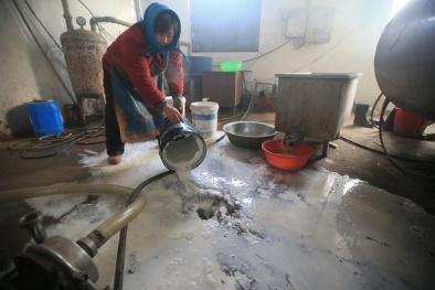 Nông dân Củ Chi 'méo mặt' vì được tắm sữa bò hàng ngày