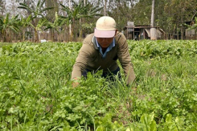 Dân phấn khởi vì trồng một hecta hành lá lãi hơn 200 triệu đồng