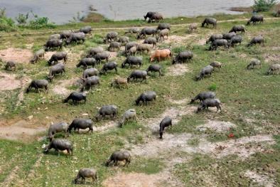 Quảng Trị: Lên phương án vây bắt đàn trâu 'điên'