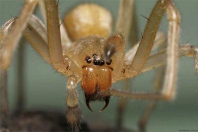 10 loài nhện độc đáng sợ nhất thế giới