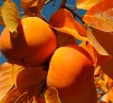 Kỹ thuật trồng cây hồng không hạt cho quả sai trĩu cành