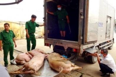 TP.HCM liên tục phát hiện heo chết, bơm nước từ tỉnh Long An