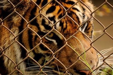 Hổ vồ chết người ở Bình Dương: 'Cảnh báo nguy hiểm trong vườn thú'