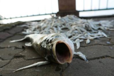 Cá chết hàng loạt ở hồ Tây: Nguyên nhân ban đầu được hé lộ