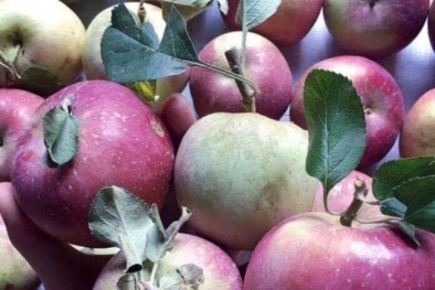 Thực hư về táo đá Hà Giang đang 'gây sốt' nhiều người tiêu dùng