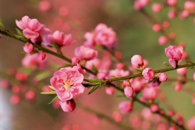Kỹ thuật trồng và chăm sóc hoa đào chơi dịp Tết