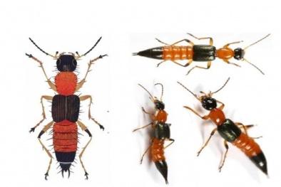 Trúng độc kiến ba khoang gây biến chứng do xử lý sai cách