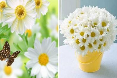 Kỹ thuật trồng và chăm sóc hoa cúc trắng đẹp lung linh chờ tết