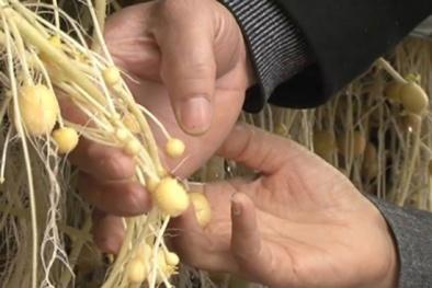 Nam Định: Nâng cao năng suất khoai tây nhờ công nghệ