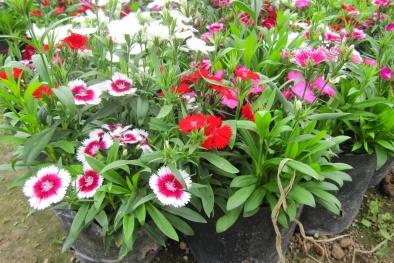 Kỹ thuật trồng hoa cẩm chướng trong chậu cho ban công thêm lãng mạn