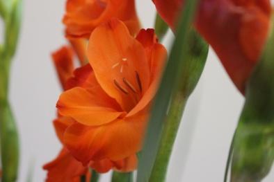 Kỹ thuật trồng hoa lay ơn và cách cắm hoa tươi lâu trong những ngày Tết