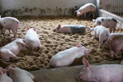 Nâng cao năng suất nhờ ứng dụng chế phẩm sinh học trong chăn nuôi