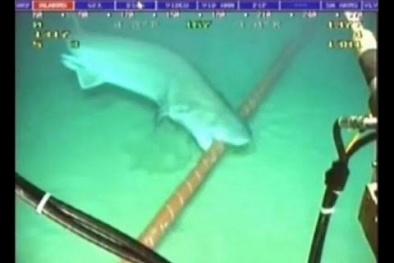 Clip: Hình ảnh cá mập cắn đứt cáp quang dưới đáy biển