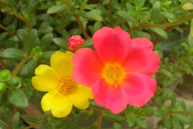 Kỹ thuật trồng hoa mười giờ sam ai cũng phải mê
