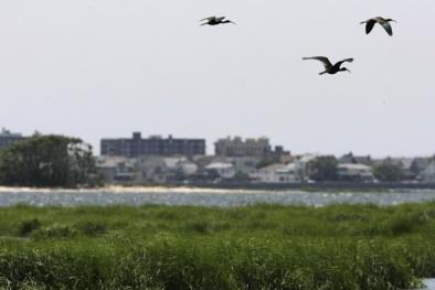 New York: Giết 70.000 con chim để dẹp đường cho máy bay