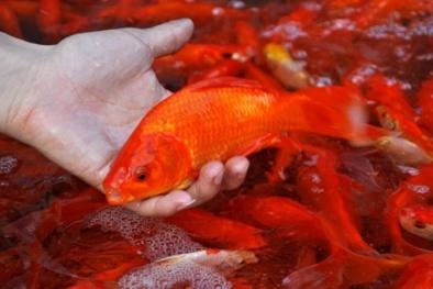 Cách chọn cá chép cúng ông Công, ông Táo
