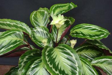 Kỹ thuật trồng cây Đuôi Công cải thiện chất lượng không khí trong phòng