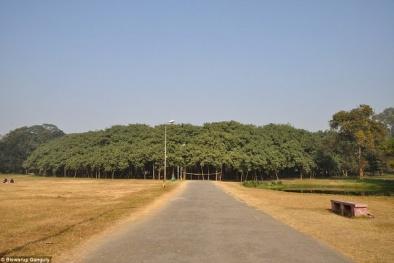 Cận cảnh cây đa cổ thụ có diện tích bằng cả khu rừng ở Ấn Độ