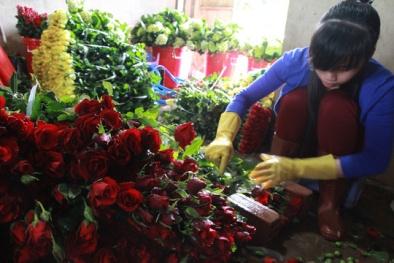 Cận kề ngày Valentine, giá hoa hồng đỏ Đà Lạt tăng vọt