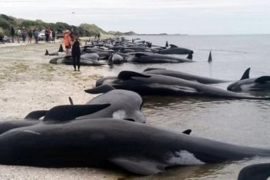New Zealand: Hơn 400 cá voi mắc cạn bí ẩn sau một đêm