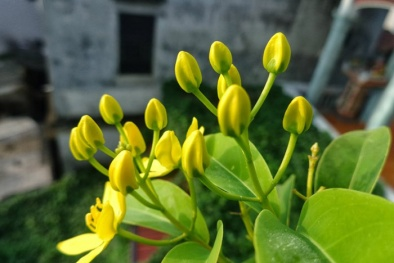 Kỹ thuật trồng cây hoa Mai hoàng yến cho ban công đẹp dịu dàng