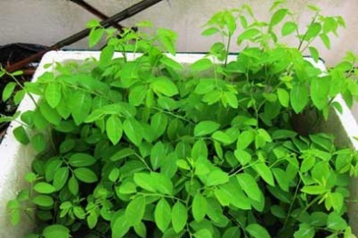 Kỹ thuật trồng cây rau ngót trong thùng xốp tuơi tốt quanh năm