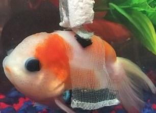 Chú cá vàng được trang bị 'xe lăn' để bơi lội dễ dàng hơn