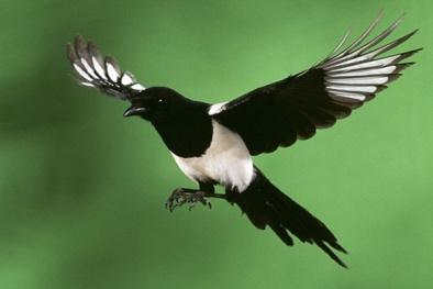 Kỹ thuật nuôi và chăm sóc chim Chích Chòe than không quá cầu kỳ