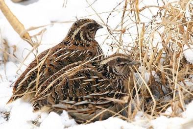 Kỹ thuật nuôi và cách chăm sóc chim Cút lợi nhuận cao
