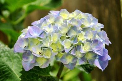 Kỹ thuật trồng cây và cách đổi màu cho hoa Cẩm tú cầu đẹp lung linh