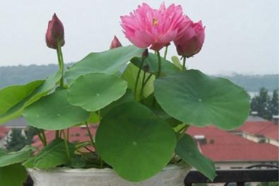 Kỹ thuật trồng cây Sen mini Nhật tại nhà đẹp ngan ngát hương thơm