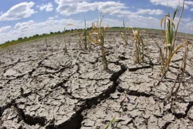 Làm giàu trên đất phèn bằng cây này lãi gấp 7 lần trồng lúa